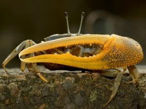 擬屠氏管招潮,雄蟹大螯相當長,有超過七公分的紀錄,古稱「擁劍」,圖為產於苗栗的個體。(圖/施習德提供)