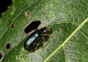金花蟲新種「通條木瘦葉蚤」(Mandarella tsoui)(農試所應用動物系李奇峰研究員提供)