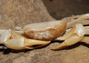 臘白地獄溪蟹(黃超提供)