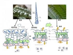 圖示比較柏拉木不同葉片的結構和形成其白斑的五種機制 (1表皮細胞、2細胞間隙、3葉肉細胞、4葉綠體變異和5晶體)