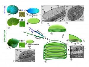 秋海棠葉片顏色與上表皮細胞中特殊葉綠體的關係。當一秋海棠植物具有 層狀體且其多層膜間距較窄時 (約小於90 奈米),葉片才會顯現虹光;否則葉子只呈綠色。圖:許秋容提供